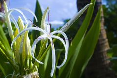 Spider Lily in Hawaii Stock Image