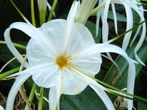 Spider lily or Hymenocallis littoralis Royalty Free Stock Photo