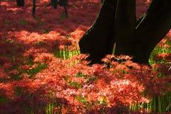 Spider Lily at Kinchakuda Stock Photography