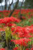 Spider Lily at Kinchakuda Stock Images