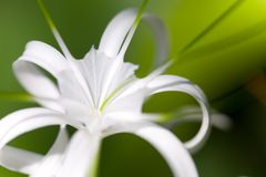 Spider lily outdoors Stock Images