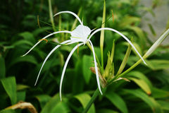Spider Lily White Flower 001 Stock Photography