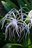 Spider lily white tropical flower in Tobago Caribbean ornamental variegated hymenocallis Caribaea Stock Photo