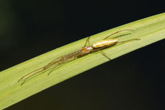 Spider - Long jawed orb weaver Royalty Free Stock Images