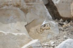 Spider In Its Web Catching Prey royalty free stock photography