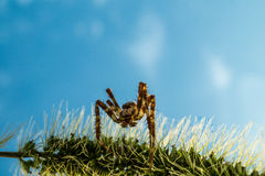 Spider lurking Royalty Free Stock Image