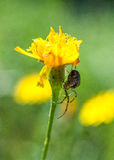 Spider lying in wait beneath a flower Royalty Free Stock Photo