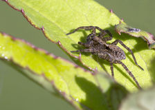Spider-lynx on a green leaf. Stock Image