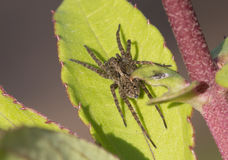 Spider-lynx on a green leaf. Royalty Free Stock Photography
