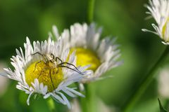 Spider-lynx Oxyopes lineatus on the annual small nest lat. Erigeron annuus, also oncologic Phalacroloma is a herbaceous plant Stock Images