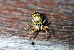 Spider Macro Royalty Free Stock Photo