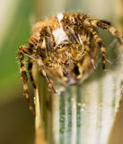 Spider macro Stock Photo