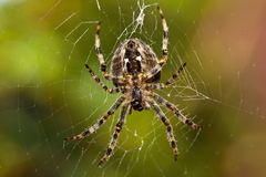 Spider Macro Royalty Free Stock Images
