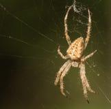Spider macro. Araneus diadematus Cross Orbweaver female, upper side. Spider on its web.. Macro closeup stock photos