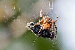 Spider macro. Cross Orbweaver Araneus diadematus on the its web with its victim. Dead fly. Macro closeup royalty free stock photography