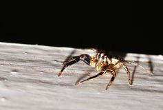 Spider. Macro eye animal Stock Photo