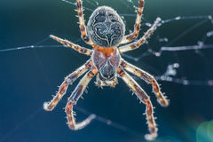 Spider. Macro image of a big spider in its spider webs Royalty Free Stock Photos