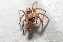 Spider Macro. Jumping Spider alticidae in white wood background Stock Images