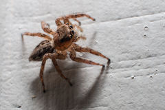 Spider Macro Royalty Free Stock Photography