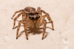 Spider Macro. Jumping Spider alticidae in white wood background Royalty Free Stock Photography