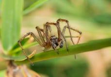 Spider macro. The nursery web spider Pisaura mirabilis, sider species of the family Pisauridae. Macro closeup. Six-legged veteran without two legs stock photo