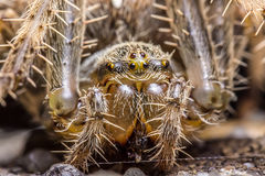 Spider macro Royalty Free Stock Photos
