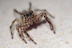 Spider macro Royalty Free Stock Image