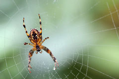 Spider macro on a web focus body and feet. Stock Photos