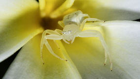 Spider macro. Spider white arachnid hungry honey prey garden paralysed ferocious adept bee devour flower wrap Stock Photo