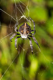 Spider Madagascar Royalty Free Stock Image
