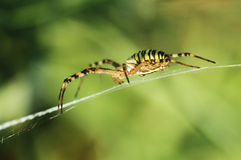 Spider making a web Stock Photos