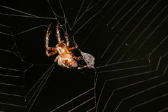 Spider making a web Royalty Free Stock Photo