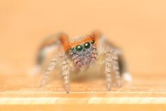 Spider making a web Royalty Free Stock Image