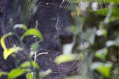 Spider. Making a web in forest, shot at kokan, Maharashtra Stock Images