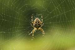 Spider making a web Royalty Free Stock Photography