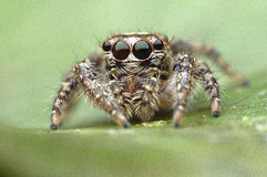 Spider man. Spider jumping in thailand coloseup macro Royalty Free Stock Image