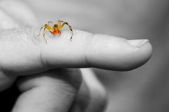 Spider on Man's Finger. Colorful garden spider crawling on man's outstretched finger Royalty Free Stock Images