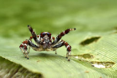 Spider man. Spider in thailand coloseup macro Royalty Free Stock Image