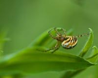 Spider Mangora acalypha Stock Photo