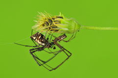 Spider mating Royalty Free Stock Image