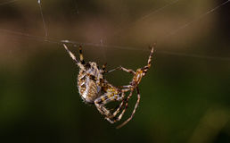 Spider mating behaviour Royalty Free Stock Photos