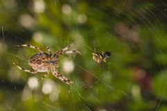 Spider with meal Stock Photography