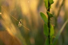 Spider in the middle of its cobwebs. Lit early, morning sun spiders web of expectant its prey spider Stock Images