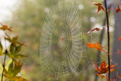 Spider in the middle of spiderweb. royalty free stock images
