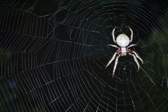 Spider in the middle of a web. Close up of a large spider in the middle of its web Royalty Free Stock Photos