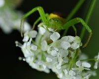 Spider Misumena vatia 2 Stock Images