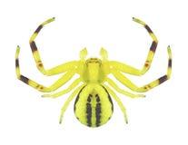 Spider Misumena vatia male Stock Image
