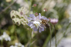 The spider Misumena vatia white with prey Royalty Free Stock Image