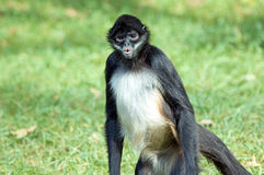 Spider monkey. Portrait of an american spider monkey Royalty Free Stock Photo