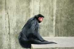 Spider Monkey. This image of a Spider Monkey was captured at Rio de Janeiro zoo, Brazil Royalty Free Stock Photo